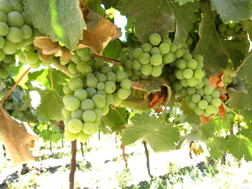 Sauvignon Blanc Grapes, Manent Vue Winery