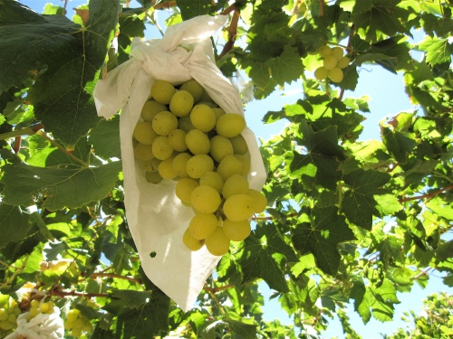 Green table grapes, Copiapo Valley