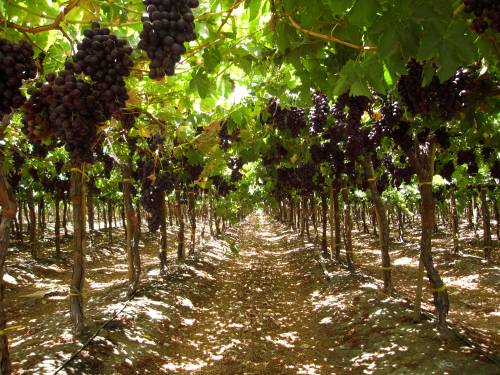 Red table grapes, Copiapo Valley, Chile